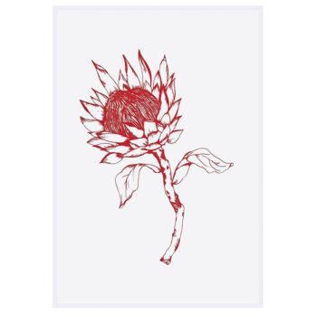 Protea-Red_5